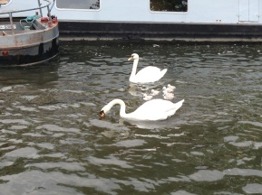 Swans and cygnets... aaahh!